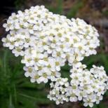Лековит бял равнец рецепти-За плосък корем и отслабване, високо кръвно, разширени вени, газове и киселини