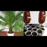 Как да си отгледате палма от костилка- толкова е просто, че веднага ще запретнете ръкави