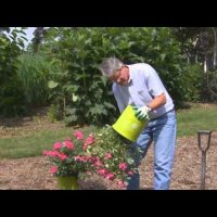 Как да засадим рози