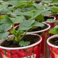 Как се садят ягоди у дома