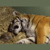 Камерата заснема уморена след раждане тигрица