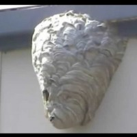 Как да се справим с гнездо стършели