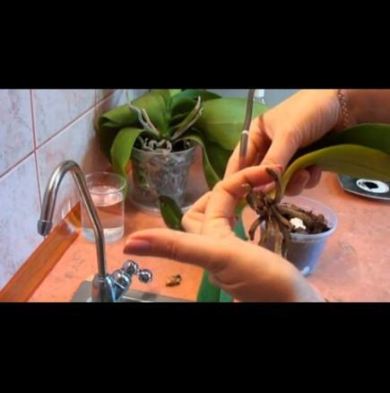 Спешна реанимация на орхидеята - как се прави.