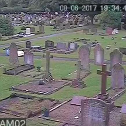 Крави се разхождат на гробище