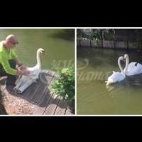 Вълнуваща среща на лебеди след раздяла