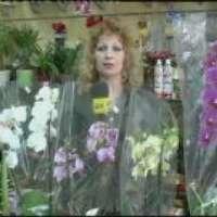Отглеждане на Орхидея Фаленопсис-Видео