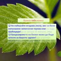 Горска ягода полезни свойства и действие