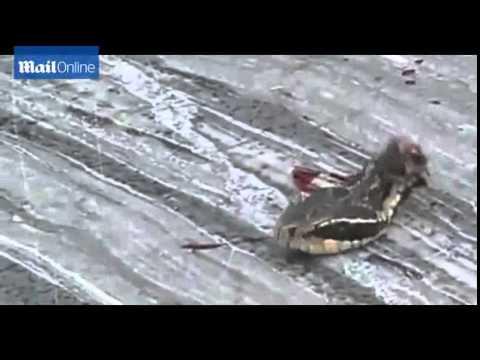 Змия с отрязана глава хапе