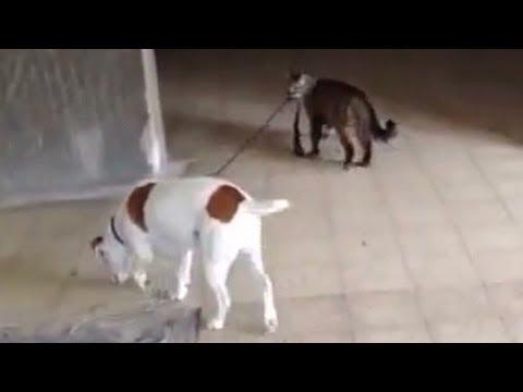Коте води на каишка куче