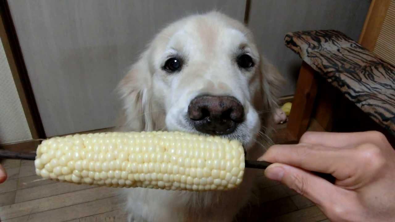 Голдън ретривър яде царевица