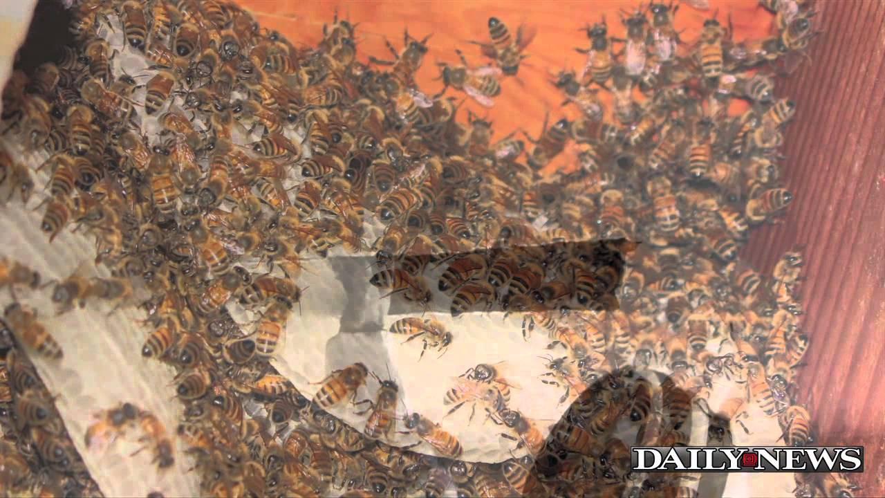 Пчели живеят на таван