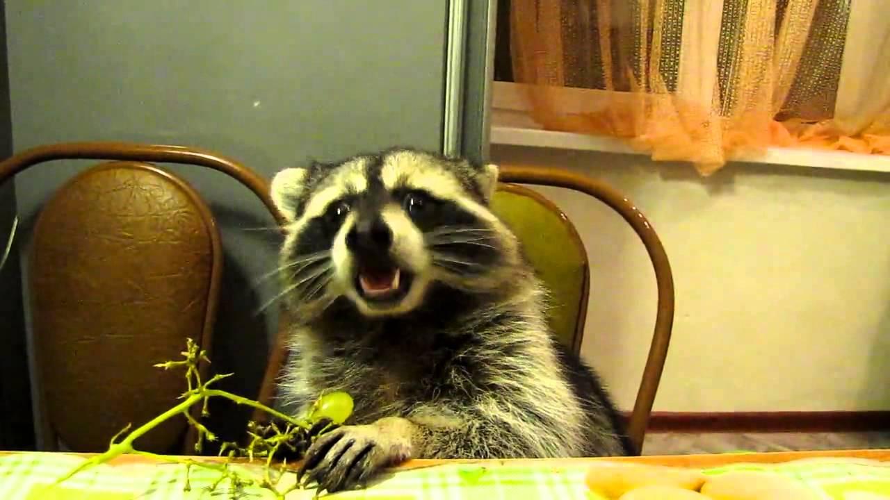Енот яде грозде