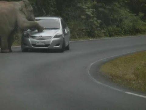 Слон убиец мачка коли