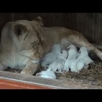 5 бели лъвчета, родени в зоопарка Amneville