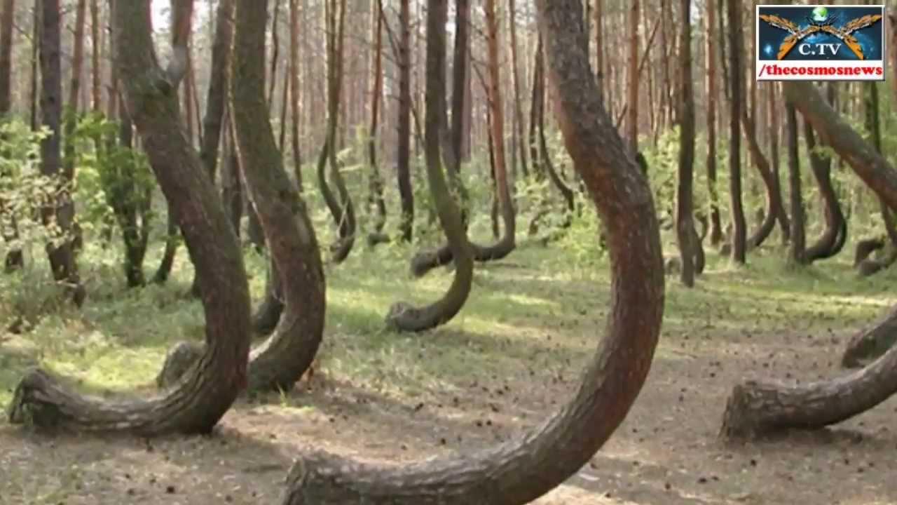 Вижте Кривата гора в Полша