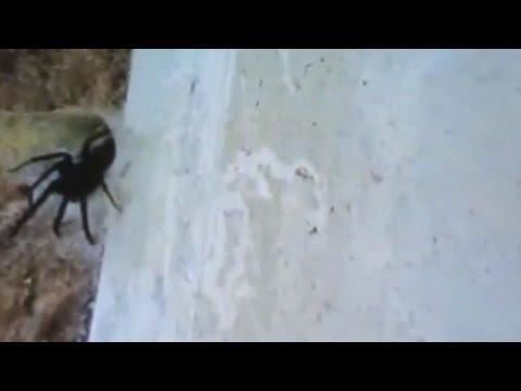Гигантски паяк живее в дупка в стената