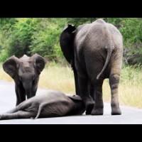 Слонове спасяват слончето си