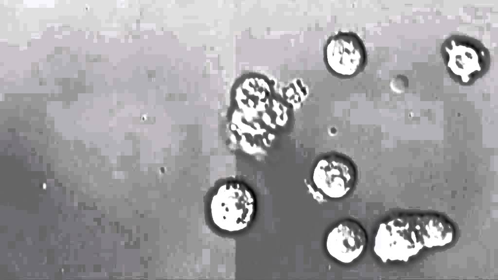 Как действат левкоцитите