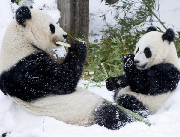 Панди за първи път виждат сняг в живота си